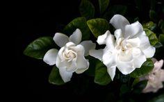Gardenia wallpaper - Flower wallpapers - #5516