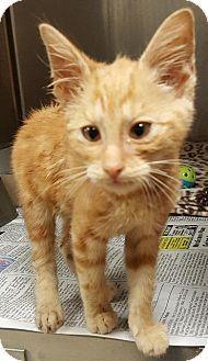ARROSA - URGENT - Washington County-Johnson City Animal Control Center in Johnson City, Tennessee  - Male Domestic SH KITTEN