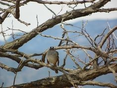 White Crowned Sparrow, Big Johnson/FVS