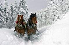 Sleigh is the ride of Santa during Christmas holidays to travel in winter over snow. The sleigh is ride by reindeer and horse. Tier Wallpaper, Horse Wallpaper, Animal Wallpaper, Mobile Wallpaper, Beautiful Horses, Animals Beautiful, Pretty Horses, Horses In Snow, White Horses