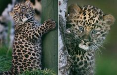 baby-jaguar-cub