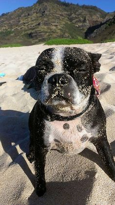 The Boston Terrier breed originated in Boston and is one of the few breeds that are native to the U. Brindle Boston Terrier, Boston Terrier Love, Boston Terriers, Terrier Breeds, Terrier Puppies, Dog Breeds, Bulldog Puppies, Puppy Pictures, Mans Best Friend
