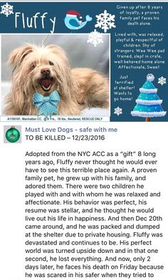 SAFE ❤️❤️12/24/16 BY POSH PETS RESCUE ❤️THANK YOU!! ❤️Manhattan Center  My name is FLUFFY. My Animal ID # is A1100181. I am a neutered male tan maltese and chihuahua lh mix. The shelter thinks I am about 8 YEARS old.  I came in the shelter as a OWNER SUR on 12/20/2016 from NY 10453, owner surrender reason stated was MOVE2PRIVA. http://nycdogs.urgentpodr.org/fluffy-a1100181/