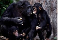 After years of back and forth, The Humane Society of the United States (HSUS) has partnered with the New York Blood Center (NYBC) in a mission to provide lifelong care for over 60 chimpanzees who had been abandoned in Liberia.