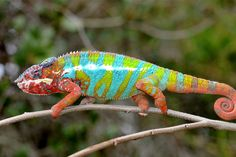 Panther Chameleon - These chameleons, like other chameleons, change their color depending on their mood. They are usually very brightly colored, especially the males when courting, who want to impress the ladies with their dazzling color display. But wait, these animals get even cooler, they can rotate and focus their eyes independent of one another so they can look at two objects at the same time. Easier to spot and strike their prey.