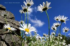 I just love daisies