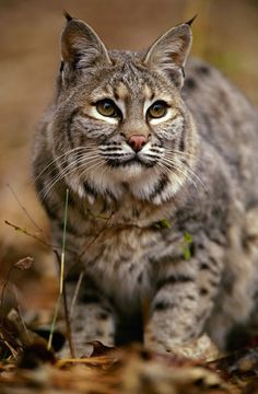 Trapping Bobcats For Profit Could Become Illegal In California | Animals-Pets