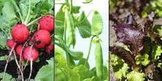 ENKLE SORTER: Reddiker, sukkererter og salat er grønnsaker som er enkle å få til. De kan sås rett i jorda eller inne i potter.