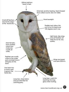 Barn Owl facts diagram (opens in a new window)