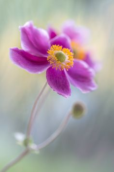 Anemone by Mandy Disher on 500px