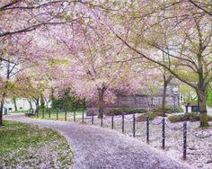 Washington, DC. Cherry blossom festival. So amazing how the city turns pink!
