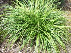 Carex dissita (Purei) Carex dissita is an attractive colonising flat-leaved green sedge found throughout New Zealand in forest, scrub and swampy areas.  It is excellent native plant to use in shaded situations under native trees and shrubs.    H 50cm x W 50cm Requires damp shade