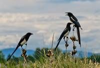 """Stunning """"Magpies"""" Artwork For Sale on Fine Art Prints"""