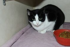 Sunshine is a cute girl who likes attention and naps. Companion Cats in Battle Creek, Michigan