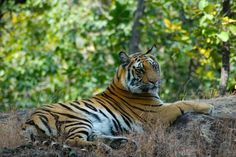 Tigers & Travels In India :: Search For The Tiger In Two Of India's National Parks, Bandhavgarh And Kanha :: proceeds benefit tiger conservation :: www.seethewild.org