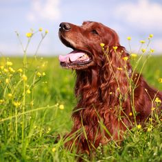 Irish Setter: Reminds me of our old dog.  He was a beauty and so full of energy!