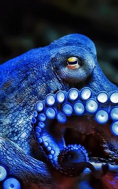 Incredibly cool Blue Octopus!