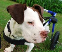 Sara Henderson was no stranger to special needs pets when she brought a Boxer-Pit Bull mix wearing a wheelchair into her home, but remodeling her home to accommodate her pets took things an extra step.