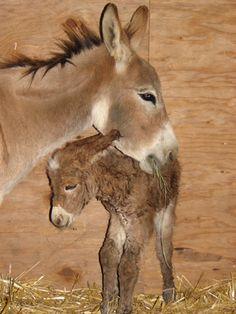 "2006 Foals. Top Notch Lucinda ""Lucy"".      Courtesy: Top Notch Miniature Donkeys, Sebastopol, CA (USA)."