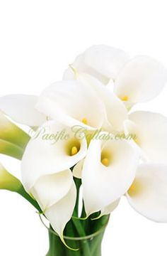 Medium size white calla lilies flowers! Timelessly beautiful in their simple, clean elegance.  Large blooms on strong, sturdy stems. Medium white callas are shorter than their classic large white counterparts and have thinner stems and more open blooms. They are taller than mini calla lilies with larger flower heads. They are harvested while open and do not require opening time. 10 flowers: 15-20 inches tall$79.00 20 flowers: 15-20 inches tall$95.00 30 flowers: 15-20 inches…