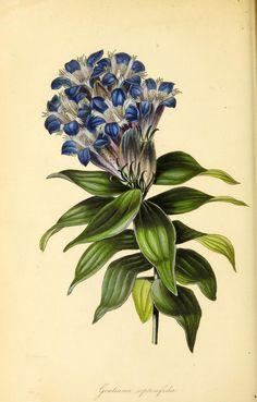 v.8 (1841) - Paxton's magazine of botany, - Biodiversity Heritage Library