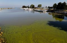 Algae floats in the water at the maumee bay state park marina in lake erie in oregon, ohio, on friday, sept. pungent, ugly and often-toxic algae Fishing Tournaments, Spring Lake, Central Valley, Lake Erie, Gulf Of Mexico, Great Lakes, Drinking Water, Ecommerce, Black Friday