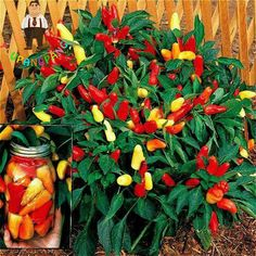 New Arrival 200 Seeds Mini Spices Spicy Red Chili Hot Pepper Seeds Potted Bonsai Plants * Garden Courtyard Balcony Plant Tree
