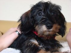 teckel Long Haired Miniature Dachshund, Wire Haired Dachshund, Mini Dachshund, Daschund, Happy Animals, Animals And Pets, Cute Animals, Strudel, Scottish Terrier