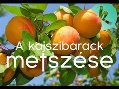 Hogyan kell metszeni a sárgabarackot? / kert TV - YouTube Vegetable Garden, Good To Know, Mango, Backyard, Fruit, Vegetables, Plants, Gardening, Decor