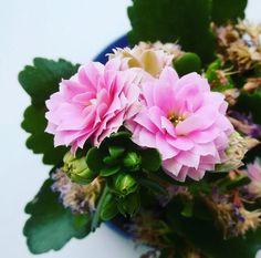 Так надоела зима и серое все вокруг что тянет только на цветы )) #nature #naturelovers #naturegram #naturephotography #flower #flowerlovers #flowers #floweroftheday #flowergram #pink #green #spring #springtime #march #весна #цветы #веснапришла #природа #март #home #kiev #Ukraine #kalanchoe #каланхоэ #plants #lovenature by n_olha