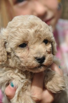 Mini Poodle puppies for sale 307-254-3968