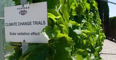 Resurrecting Ancient Wines That Can Survive Climate Change