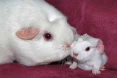 Baby Guinea Pig with Mom