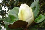 How to Plant a Southern Magnolia Tree