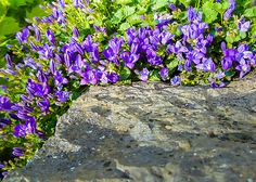 Beautiful bluebells grow on the rock fence.
