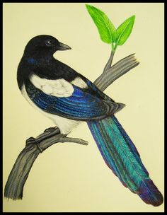Magpie - not just black and white.