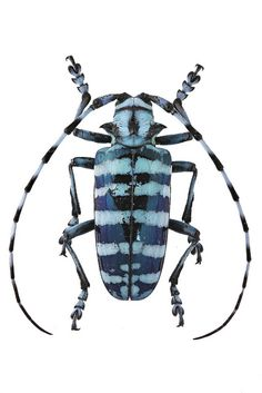 Inspiration for Cynthia Toops brooch Beetle Insect, Beetle Bug, Cool Insects, Bugs And Insects, Beautiful Bugs, Amazing Nature, Longhorn Beetle, Cool Bugs, Nature Artists