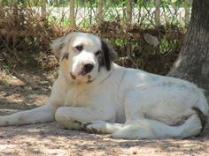 08/15/16--~Tammy~ Great Pyrenees Mix • Young • Female • Large Lone Star Pyrs and…