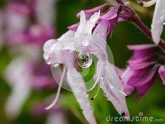 close-up-view-rain-drop-showing-purple-sage-flowers