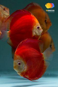 Poisson Discus. Les discus forment un genre de poissons d'eau douce de la famille des Cichlidae. Ce genre regroupe deux espèces : le Discus de Heckel et le Discus commun. Nom scientifique : Symphysodon. Cf. Wikipédia