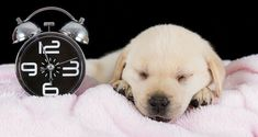 A retriever puppy lying on a pink towel next to a clock