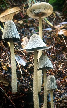 **Coprinopsis lagopus via Mykoweb Michael Wood