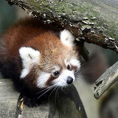 Red panda cub comes out the play at the zoo in Zlin, Czech Republic