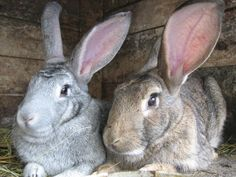 Here are a few helpful tips on maintenance, breeding, growing and health care for raising meat rabbits.
