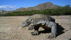 Is Komodo dragon blood the key to new antibiotics? - BBC News