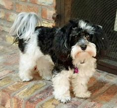 Zoey in AZ is available for adoption NOW (Feb 2016) from Havanese Rescue Inc