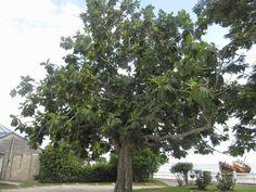 Tree_Large_Breadfruit