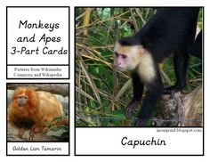 In Our Pond: Monkeys and Apes 3-part Cards