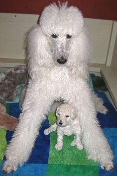 Standard Poodle Tori with puppy Rodeo #richfashion #unique #style #dog #poodle #love