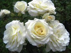 klimroos 'Schneewalzer' * - Tantau (1987). Grote (12-14cm), witte bloemen. Vroege bloeier. Dichte struik. Weerbestendig. Matige geur. Zeer gezond. H 250-300 cm